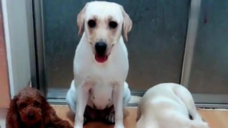 主人问狗狗: 你儿子和泰迪落水你救谁, 狗狗怼着泰迪使劲揍, 搞笑