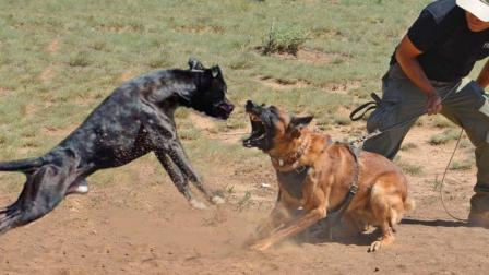 世界最凶猛的狗, 一旦咬住目标绝不松口, 除非被击毙!