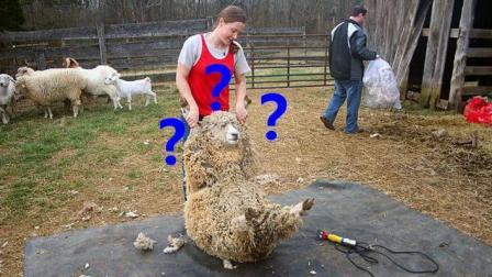 剪羊毛大赛实拍, 羊: 人类把我折腾蒙圈了, 一觉醒来毛大衣都没了