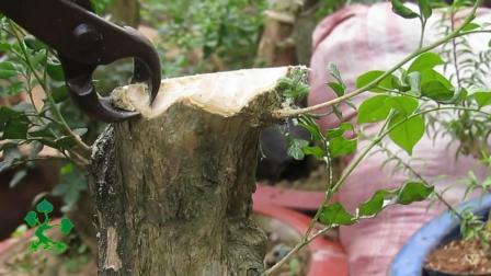 为什么把好好的树桩处理成这样? 原来这也是制作盆景的一种方法!