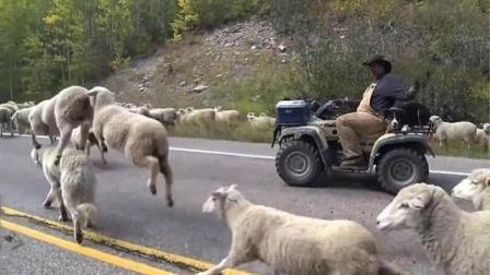 美国高速路2000只绵羊堵路司机停车等待