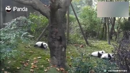 熊猫: 为什么留下我一熊, 最后剩下的这只团子心态崩了