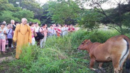 黄牛生死关头被法师救下, 不仅没有要跑, 反而朝着他下跪