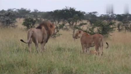 公狮子攻击不属于自己的幼崽, 母狮子拼命保护!