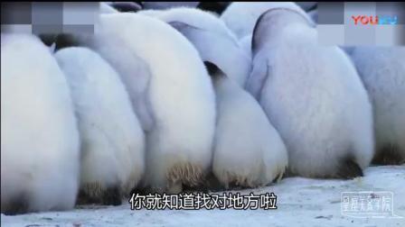 短腿萌宠小企鹅聚在一起, 软软糯糯像团子一样超可爱啊!
