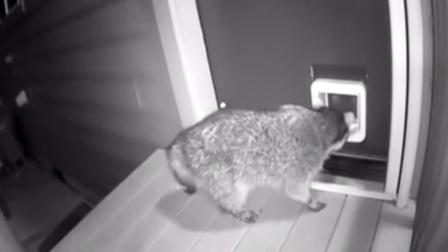 小浣熊夜闯民宅 被猫主子发现一顿胖揍