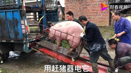 都说狗急跳墙, 把猪赶急了会怎么样