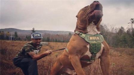 最好别养这种狗, 三分钟内咬死200斤重高加索犬!