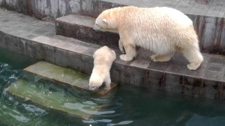 凶猛的北极熊也怕它? 看完整个过程, 网友: 好想把它抱回家!