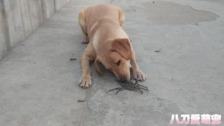 当拉布拉多遇到螃蟹的表现太逗了