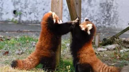 日本双胞胎小熊猫打架, 还没开打就互相举手投降, 太萌了!