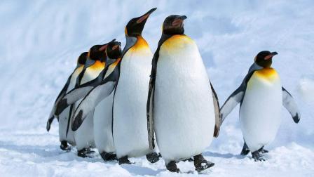 Q时代风云: 南极企鹅也没能幸免! 体内发现抗生素耐药性基因