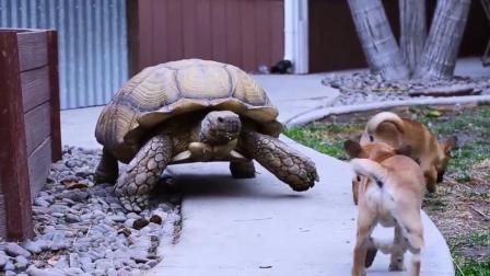 女子收养了受伤的陆龟, 它和家里狗狗成好朋友, 每天都形影不离!