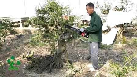 好好的树桩把它给锯了, 又在树桩上面雕刻, 这样树桩还能成活吗?