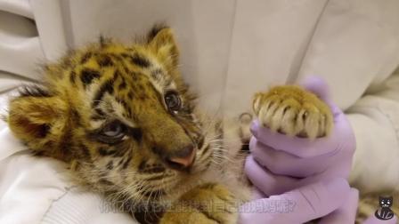 失去妈妈的老虎幼崽被救助站收养, 吃饱喝足的它, 成了那儿的宠儿