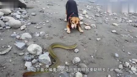 狗看见路上的电鳗, 冲了上来咬了一口。摄像机拍到了狗的碰撞声。