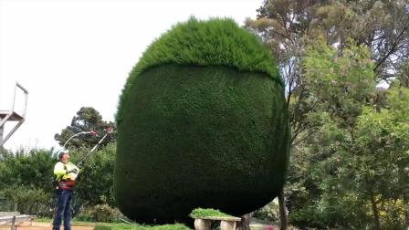 把10米高的树修成圆形, 强迫症这次开心了, 视频引起极度舒适