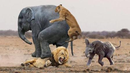 大象母子被狮群围攻, 大象妈妈誓死守护, 镜头拍下全过程!