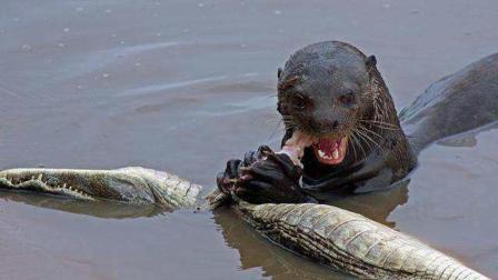 水獭看着傻乎乎的, 为什么敢吃鳄鱼? 水獭不可貌相!