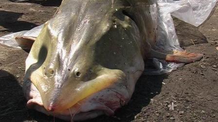 """这鱼横行霸道上亿年, 从未有过天敌, 如今却难逃""""中国吃货""""的嘴"""