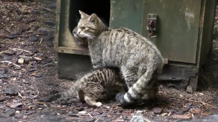 猫咪母亲照顾孩子捕捉老鼠, 样样高手很是尽责
