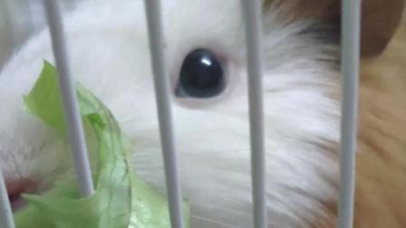 你看这个荷兰猪吃东西的样子, 像不像你吃手指饼的样子?