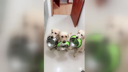 主人扬言要把泰迪炖了, 三只拉布拉多叼来盆准备吃狗肉!