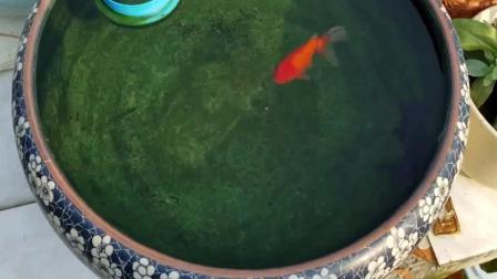 古法养鱼一样很麻烦, 每天都要处理沉淀物和鱼便