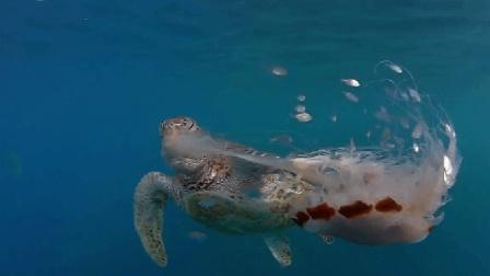 饥饿海龟尾随水母 咬下触须手刀切断