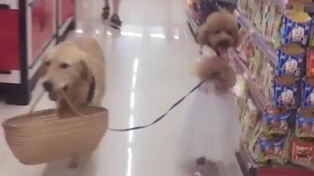 两只狗混进超市, 泰迪牵着金毛, 金毛竟乖乖让它牵着