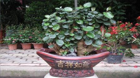 室内耐阴增湿的福禄桐, 冬季养护简单, 外观却比发财树还好看