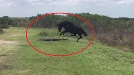 鳄鱼趴在草地上休息, 结果被野马一脚踩在头上, 鳄鱼: 真倒霉!