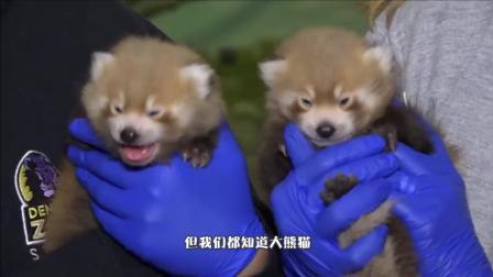 原来还有比大熊猫更可爱的动物, 小熊猫了解下, 注意不是浣熊哦
