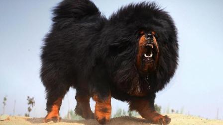 哪些品种的狗能打得过比特犬? 藏獒上榜, 这狗种打败藏獒只要五分钟