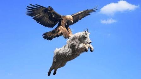 金雕俯冲而下捕捉山羊, 本以为能美餐一顿, 不料却以悲剧收场!