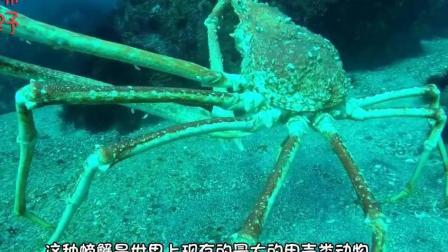 世界最大的螃蟹! 连鲨鱼都吃! 能活百年之久!