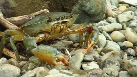 你见过这样的抓螃蟹的方法吗? 不用工具用手抓螃蟹然后在河边煮螃蟹吃, 真是美味