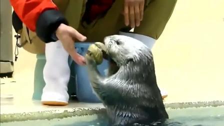 水獭帮饲养员捡贝壳顺便还检查一下有没有肉