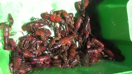 有三种动物入侵中国, 却被吃到渣都不剩, 网友: 中国吃货的力量