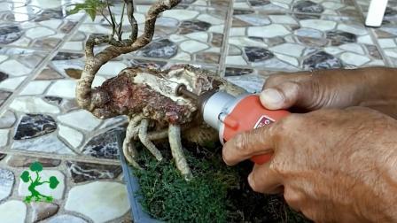 电钻在树桩上雕刻, 树桩还能成活吗? 原来这是制作盆景的一种技法