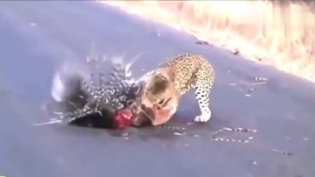 非洲大猫, 花豹捕猎的精彩画面, 疣猪, 角马, 狒狒都难逃豹爪!