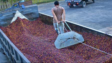 【精品咖啡  10】肯尼亚咖啡豆水洗处理法