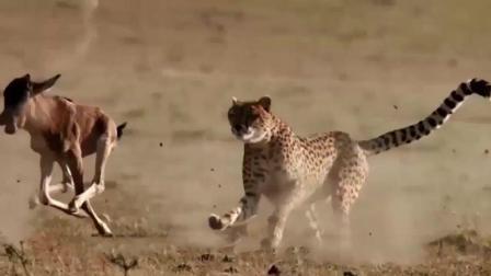 豹子想抓小羚羊, 得手后正准备享用美食, 羚羊妈妈却找上门来