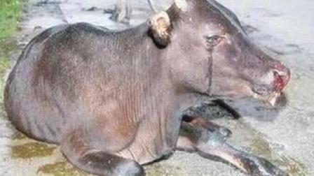 农村杀牛的时候, 牛为什么会流泪, 甚至给屠夫下跪?
