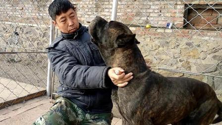 加纳利是一种大型犬, 这个视频你看过之后, 你就不会这么认为了