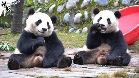辣报 新华社资讯 吃货大熊猫姐弟每日表演吃播
