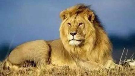 动物世界的精彩瞬间, 鬣狗大战狮子, 太痛快了