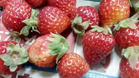 草莓种子育苗全记录