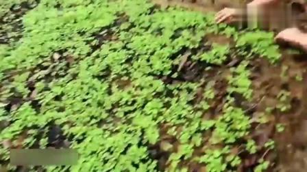 农村姑娘是个女强人, 自己打理菜园, 过几天就能吃到蔬菜了