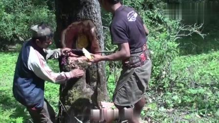 野外树洞猎奇, 如何寻找野生蜂蜜? 不戴任何护具